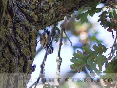 Black-and-white Warbler, Sacramento County, 1 September 2014