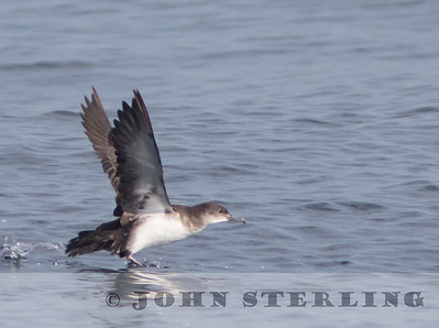Black-vented Shearwater, off Ventura; August 2015