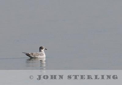 Franklin's Gull, Woodland, Yolo County, CA; November 2017