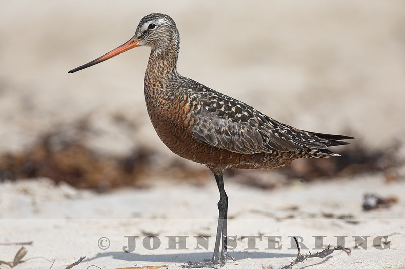Hudsonian Godwit, Mission Beach, San Diego County; 30 May 2019