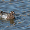 Garganey in West Sacramento, Yolo County, CA; March 2019