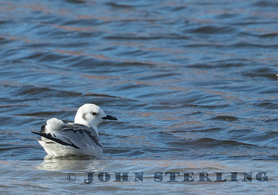 Black-legged Kittiwake, Bridgeport Res., Mono County, CA; December 2017, second county record