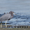 Little Blue Heron, San Diego, December 2017