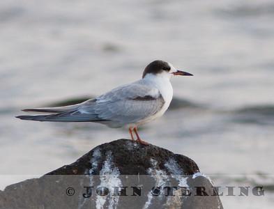 Common Tern, north shore Lake Tahoe