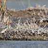 Wood Sandpiper; 16 September 2018; Centerville Marsh, Humboldt County, CA; third state record found two days prior