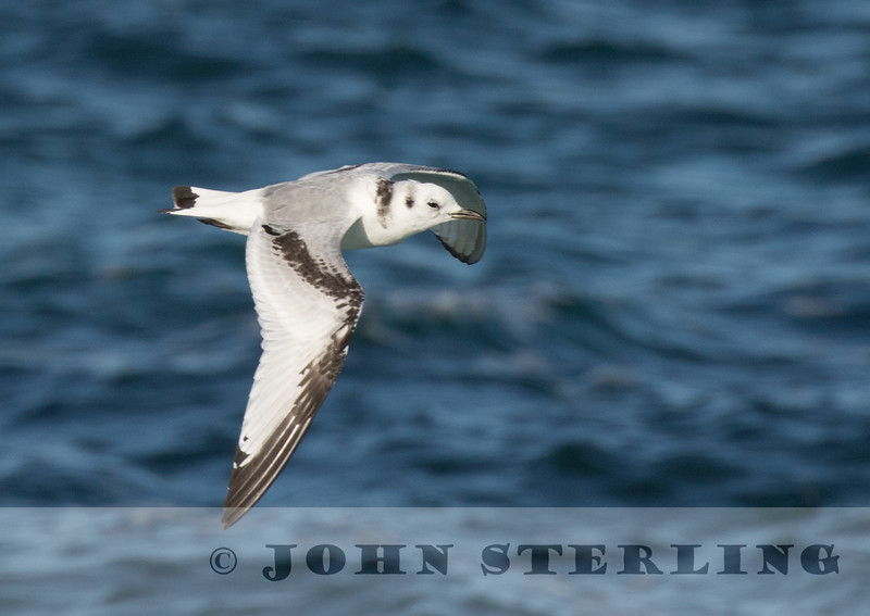 Black-legged Kittiwake, Pacific Grove, CA; 13 January 2017