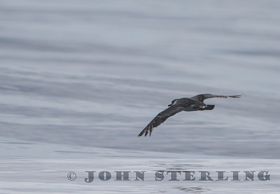 Great Shearwater, Mendocino pelagic; 18 October 2015; first county record