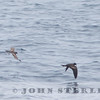 Ashy and Black storm-petrels, off Ventura; August 2015
