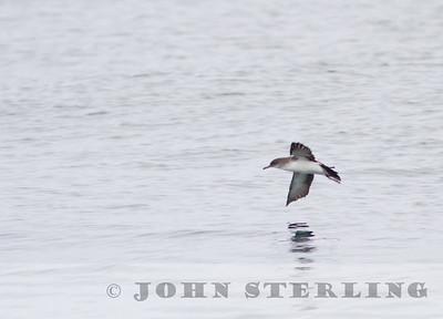 Black-vented Shearwater, Monterey Seabirds pelagic trip, Monterey County, 28 September 2014