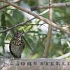 Gray-cheeked Thrush; Gaiileo Hills, Kern County; 29 September; found by Dan Cooper in morning
