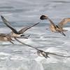 Bar-tailed, Hudsonian and Marbled Godwits: Tunitas Creek, San Mateo County; 23 Oct 2019