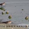 Baird's Sandpiper; Woodland WTP, Yolo County; 1 November 2012