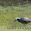 Emperor Goose; Sharp Park, San Mateo County, CA ; 24 Jan 2017