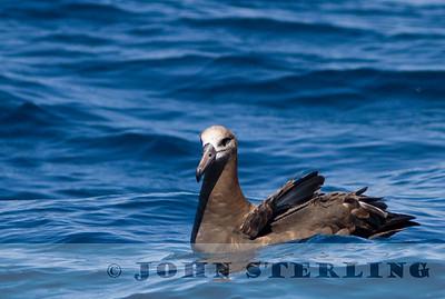 Black-footed Albatross, Monterey Bay, 7 September 2014