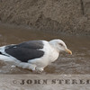 Slaty-backed Gull, Pilarcitos Creek Mouth, San Mateo County, CA; 3 March 2017