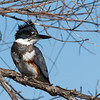 Belted Kingfisher, Gray Lodge, Butte County, CA; Feb 2019