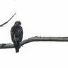Broad-winged Hawk, Malloy Park, Los Angeles County; Oct 2019