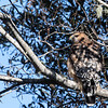 Red-shouldered Hawk; Carmel River, Monterey County, CA; 18 October 2018