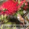 Allen's Hummingbird, UC Santa Barbara; 4 May 2015