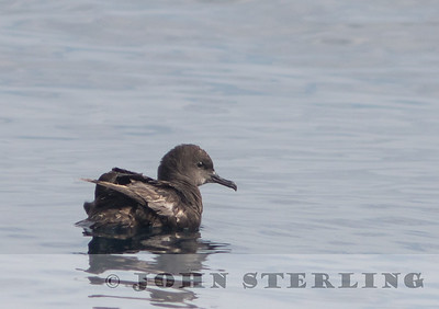 Sooty Shearwater; off Ventura; August 2015