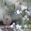 Curve-billed Thrasher, Woodland, Yolo County, CA; 14 Jan. 2018; first Central Valley and N. CA record for species.