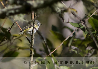 Blue-headed Vireo; Pine Gulch Creek, Bolinas, Marin County; 2 October 2015; found by Mark Dettling the day before