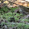 Ovenbird, San Diego, October 2018