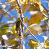 Yellow-browed Warbler; Alpine County, CA; 25 Oct 2019; found day before by Todd Easterla; first state record and my 600th state bird NIB