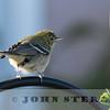 Bay-breasted Warbler; Los Osos, San Luis Obispo, Dec 2016