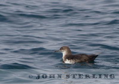 Black-vented Shearwater, Monterey Bay, 7 September 2014