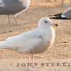 Glaucous Gull, Pilarcitos Creek Mouth, San Mateo County, CA; 3 March 2017