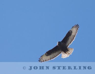 dark morph Ferruginous Hawk; County Line Road, Yolo County, CA; 3 February 2015
