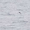 Murphy's Petrel; May 2019 off Oregon coast