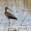Adult basic Glossy Ibis; 18 September 2015; Yolo Basin Wildlife Area, Yolo County.