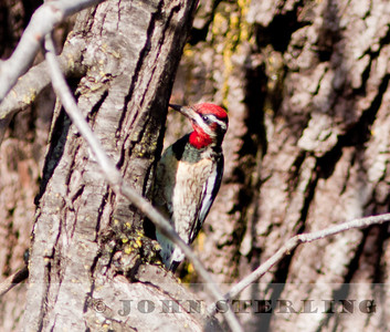 Red-naped Sapsucker in Chico, Butte County; 5 January 2011