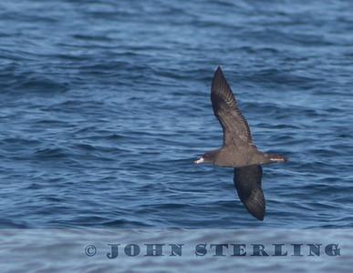 Flesh-footed Shearwater, Mendocino pelagic; 18 October 2015