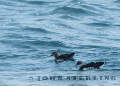 Manx and Black-vented Shearwaters; San Diego, CA; 5 March 2016