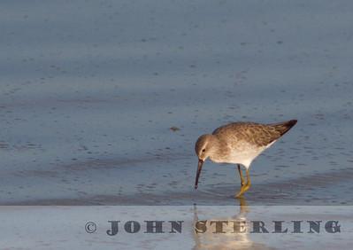 Stilt Sandpiper, Kings County, 7 September 2014, adult in basic plumage