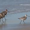Bar-tailed Godwit: Tunitas Creek, San Mateo County; 23 Oct 2019