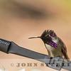Costa's Hummingbird, near El Dorado Hills, CA; 4 May 2016