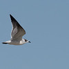 Franklin's Gull; Kings County; Oct 2019