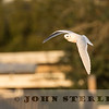 Ross's Gull, Half Moon Bay, CA; 12 January 2017; found by Don Pendleton