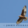 Ferruginous Hawk, Blythe, CA;  Feb 2017
