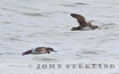 Manx Shearwater, Monterey Seabirds pelagic trip, Monterey County, 28 September 2014