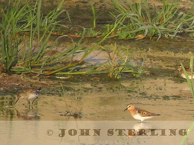 Red-necked Stint, LA River at Willow Street; 17 July 2013