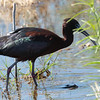 Glossy Ibis, first Kern County record; Kern Water Bank (private property): 23 April 2019