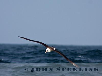 Laysan Albatross off San Mateo