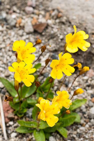 Primrose Monkeyflower