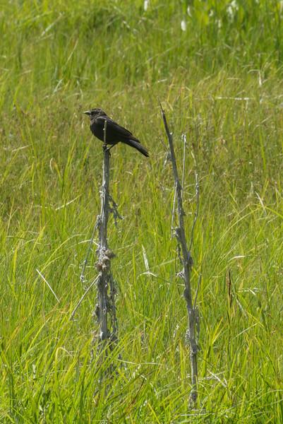 Unidentified Blackbird