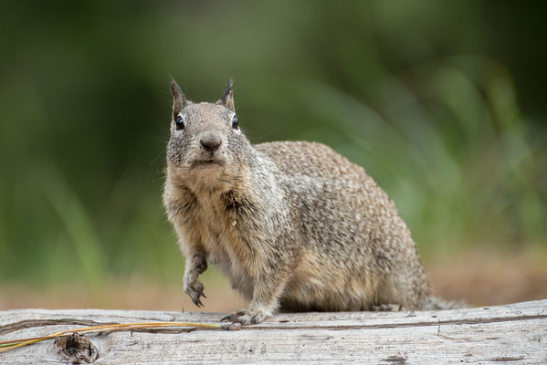 Cascade Mountains; Lassen Volcanic National Park; Wildlife; california; squirrel This guy is just too cute!